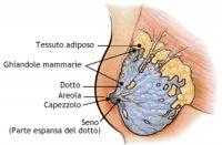 anatomia mammella